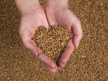 Grain Wheat woman hands. Female hands holding grain of wheat taking heart shape Stock Photos