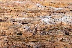 Wood Grain of a Pine tree royalty free stock photography