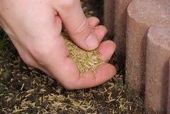 Graine 05 d'herbe photo stock