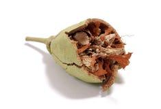 Graine cassée de baobab Image stock