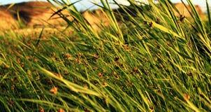 Graine d'herbe Photographie stock