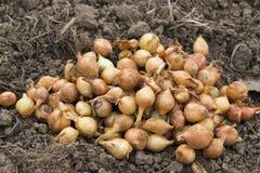 Graine d'oignon Image stock