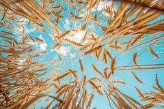 Graine de blé dans la pampa de la culebra dans Cajamarca Pérou photo libre de droits