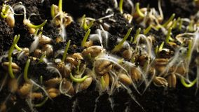 Graine de blé de germination s'élevant en terre Timelapse de ressort de germination de pain banque de vidéos
