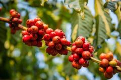 Graine de café sur l'arbre Photos libres de droits