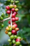 Graine de café sur l'arbre Images libres de droits