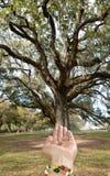 Graine de chêne sur la main femelle Photographie stock libre de droits