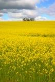 Graine de colza 2 Image stock