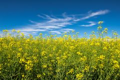 Graine de colza dans un ciel bleu image stock