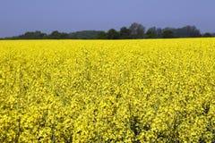 Graine de colza en Allemagne 01 Photographie stock libre de droits