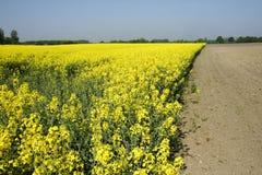 Graine de colza en Allemagne 03 Images stock