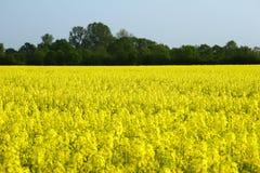 Graine de colza en Allemagne 05 Photo stock