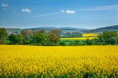 Graine de colza jaune de zone Photographie stock