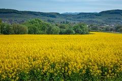 Graine de colza jaune de zone Photographie stock libre de droits