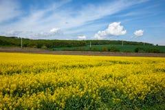 Graine de colza jaune de zone Image libre de droits