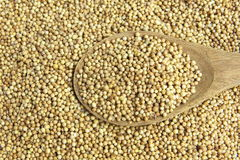 Graine de coriandre sèche photo libre de droits