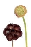 graine de cosses de lotus Images libres de droits