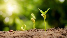 Graine de germination à la pousse de l'écrou photographie stock libre de droits