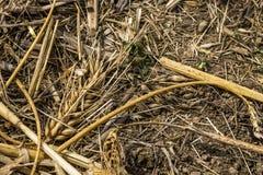 Graine de grain de blé sur la lumière parfaite de sol brun après récolte en été Images libres de droits