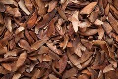 Graine de Lanceolata de Lagerstroemia Photographie stock libre de droits