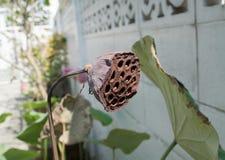 Graine de lotus Photo libre de droits