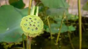 Graine de lotus Photo stock