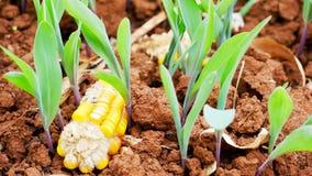 Graine de maïs photos libres de droits