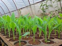graine de maïs photo libre de droits