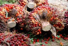 Graine de palmier à huile Images libres de droits