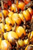 Graine de palmier à huile Photos libres de droits