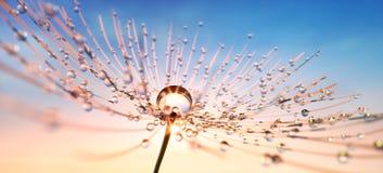 Graine de pissenlit avec des baisses de rosée dans le soleil égalisant photo libre de droits