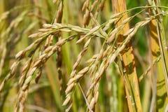 Graine de rizière Photographie stock libre de droits