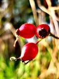 Graine de Rose en automne Images libres de droits