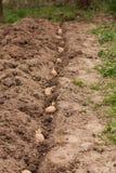 Graine des pommes de terre avec des pousses en terre Photo libre de droits