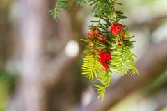 Graine rouge, cônes de pin sur le pin Images stock