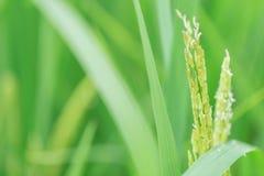 Graine verte de riz de barbelure de plan rapproché de jasmin thaïlandais image stock