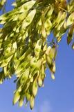Graines d'arbre au-dessus de ciel bleu Photo libre de droits