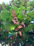 Graines d'arbre de tilleul en automne Photos stock