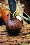 Graines d'hélicoptère des espèces de Dipterocarpus sur la forêt tropicale tropicale du Bornéo Propagation d'arbre des espèces de  Image stock