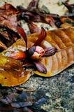 Graines d'hélicoptère des espèces de Dipterocarpus sur la forêt tropicale tropicale du Bornéo Propagation d'arbre des espèces de  Photos libres de droits