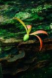 Graines d'hélicoptère des espèces de Dipterocarpus sur la forêt tropicale tropicale du Bornéo Propagation d'arbre des espèces de  Photographie stock
