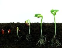 Graines d'haricot de germination images libres de droits