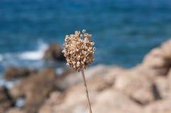 Graines d'oignon d'une fleur Photos stock