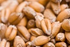 Graines de blé Photographie stock