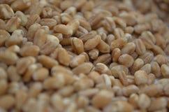Graines de blé Photos libres de droits