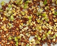 Graines de Brown et jeunes pousses vertes Images stock