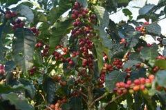 Graines de café des divers niveaux de maturité sur les branches des buissons de café sur une plantation en Costa Rica photographie stock