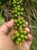 Graines de café robusta sur une branche Images libres de droits