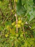 Graines de café robusta sur une branche Photographie stock libre de droits