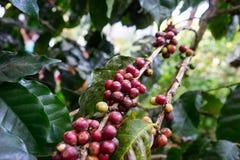 Graines de café sur un caféier Photos libres de droits